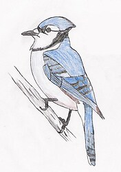 Blue Jay(color)